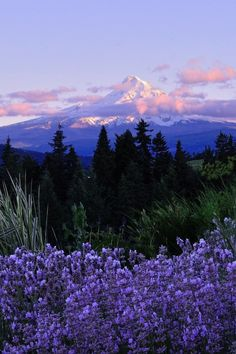 "favorite-season: "" Lavender Sunset by Lonnie Hicks "" Nature Aesthetic, Flower Aesthetic, Aesthetic Backgrounds, Aesthetic Wallpapers, Mother Earth, Mother Nature, Beautiful World, Beautiful Places, Image Nature"