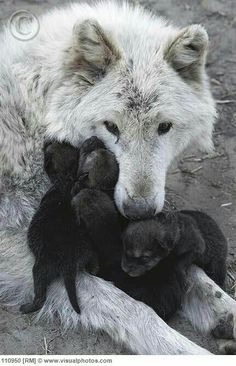 So very touching, the love that the Mother has for her pups. Wolves are the BEST!!!