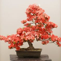 Herons Bonsai Satsuki Azalea Bonsai Tree | Herons Bonsai The Satsuki Azalea is one of the most popular flowering bonsai grown today. So popular is this species that there are specialist clubs and societies which are dedicated to just this type of bonsai. The Satsuki flowers from the end of May to early July and when not in bloom, it makes a lovely evergreen tree. The above picture taken at our nursery in May/June, shows how stunning Satsuki