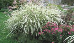 Miscanthus: An Ornamental & Invasive Grass | Miscanthus | Department of Horticultural Science | CFANS | University of Minnesota