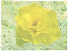 Strukturfoto: Gelbe Rose