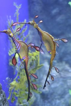 Sea Horse Derby. jO: believe these are called Sea Dragons, just not sure which 1 of the 2 species this is,... Leafy?