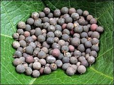 Embelia Ribes (Robustal Berries or Vidanga) is natural germicide. Its medicinal uses, health benefits, for curing fungal infections of skin, worms in stomach, heart diseases, facial paralysis due to over heat, blood motions, sticky motions, back ache during periods, eye brow pains, pains in forehead and killing germs in the skull, Elephantiasis, children's grinding teeth during sleep.