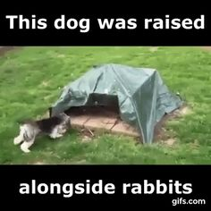 Dog Raised Alongside Rabbits - Funny And Healthy Funny Animal Memes, Funny Animal Videos, Dog Memes, Cute Funny Animals, Funny Animal Pictures, Cute Baby Animals, Funny Cute, Funny Dogs, Animals And Pets