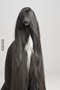 This dog's hair is more fabulous than yours