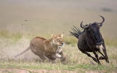 A lioness chases wildebeest, Maasai Mara, Kenya