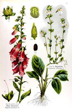 img/gravures anciennes de fleurs/gravure couleur ancienne de fleur - Digitalis purpurea; Euphrasia officinalis.jpg
