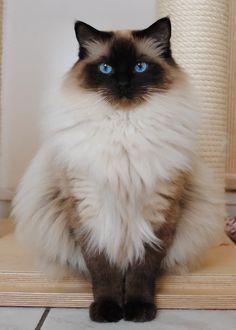 ragdoll cat | Ragdoll