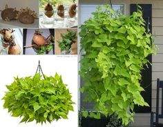 """Grow a Sweet Potato Vine:  Use a potato with 3 or more eyes growing  ~ Place 4 toothpicks in the center of the potato  ~ Suspend potato in a jar filled w/water (bottom eyes submerged)  ~ Once root system is established & there are 3 or more leaves present on each bud, plant in a pot (cover potato & roots w/soil exposing only the leaves)  ~ Prune vines when they reach 8""""-10"""" long to promote a full plant. 
