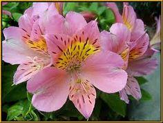 Alstroemeria, my favorite (:
