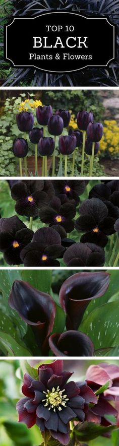 10 Black Flowers and Plants to Add Drama to Your Garden Of I only still had my black lily it would have multiplied. The post 10 Black Flowers and Plants to Add Drama to Your Garden appeared first on Ideas Flowers. Black Tulips, Black Flowers, Beautiful Flowers, Exotic Flowers, Tropical Flowers, Outdoor Plants, Outdoor Gardens, Small Gardens, Gothic Garden