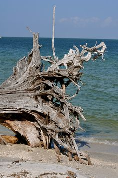 Tree on the Shore - Cayo Costa State Park, Florida