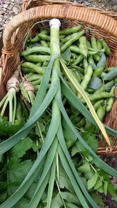 Last of the broad beans, first of the leek and parsnips!!
