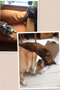 Carmela - DoggieBag.no #DoggieBag #Hund #Katt #EngelskBulldog
