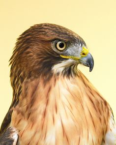 Bird Painting Acrylic, Watercolor Paintings Of Animals, Beautiful Birds, Animals Beautiful, Crow Pictures, Hawk Feathers, Hawk Bird, Wild Animals Photos, Red Tailed Hawk