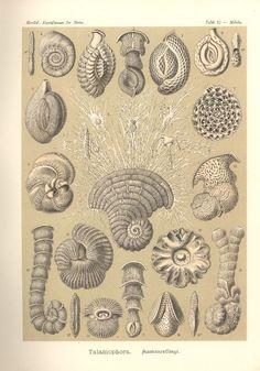 Lithographie, Haeckel, Tafel 12: Miliola
