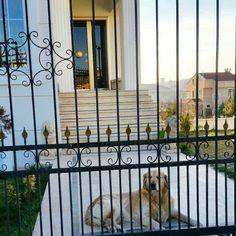 #goldenretriever #tarçın #dog