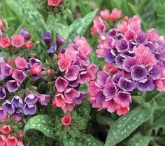 "lungwort ""raspberry splash"", full-part shade, blooms APRIL-MAY, slow spreading ground cover, perennial FOLIAGE plant. Entry way and birch garden."