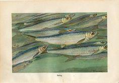 C1900 Brehm Marine Fish Dorado Mahi Mahi