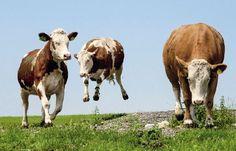 Foto Gasteiger Rinder                                                       …