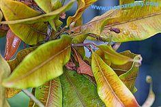 Triphyophyllum peltatum.....http://www.masozravky.com/rody/triphyophyllum.php