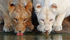Google Image Result for http://img.izismile.com/img/img5/20120209/640/great_pictures_of_albino_animals_640_32.jpg