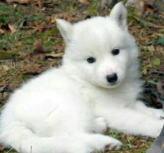 Cute white wolf pup with blue eyes - photo#11