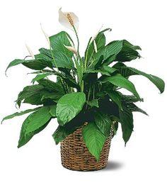 Medium Spathiphyllum Plant  Item TF133-3