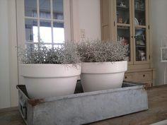 witte pot met zilvergrijze plant