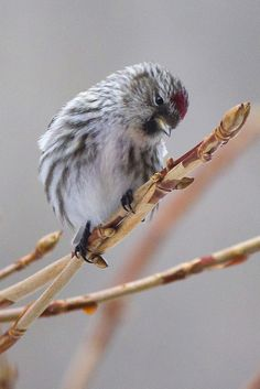 Common redpoll | Flickr - Photo Sharing!