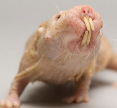 NAKED MOLE RAT Family: Bathyergidae Habitat: Tropical grasslands of East Africa, southern Ethiopia, Kenya, and Somalia. A colony of naked mole rats can consist of 20 to 300 individuals. Their underground territory can be as large as six football fields Hamsters, Rodents, Interesting Animals, Unusual Animals, Strange Animals, Ugly Animals, Cute Animals, Ugliest Animals, Rats