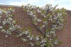 apple trees against wall - Google Search