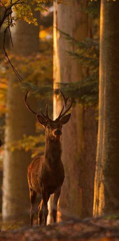 Majestic red deer at Bayerischer Wald in Bavaria, Germany • photo: stevennl2003 on Flickr