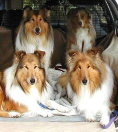 Three collies and an Aussie in the back