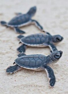 baby sea turtles / by Christian Miller baby turtles are my favourite :)) Cute Creatures, Sea Creatures, Cute Baby Animals, Animals And Pets, Animals Sea, Nature Animals, Baby Sea Turtles, Turtle Baby, Small Turtles