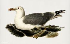 Public Domain   European herring gull (Larus Argentatus) illustrated by the von Wright brothers. Digitally enhanced from our own 1929 folio version of Svenska Fåglar Efter Naturen Och Pa Sten Ritade.