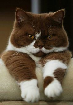 HAHA!!! IF THIS CAT WAS MINE, I WOULD FOR SURE NAME IT CHOCOLATE CAKE POPS, OR CHOCOLATE BROWNIE POPS. JUST BECAUSE OF THE COLOR, AND IT LOOKS LIKE AND GRUMPY OLD MAN EXPRESSION. HAHA! I LOVE IT...♡♡♡