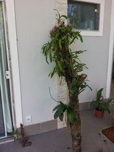Paixão por orquídeas - Meu orquidário: Oncidium Aloha e Sweet Sugar: Dicas de cultivo da Chuva-de-ouro e de fixação em tutor vivo.