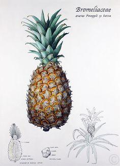 Pineapple - watercolour by Ruth de Monchaux