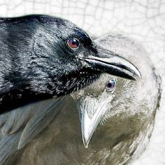 A Pair of Close Companion Crows with Antique Texture - Signed Fine Art Photograph by June Hunter