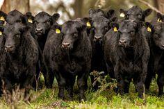 La raza Aberdeen Angus es productora de carne por excelencia, ponderada por su…
