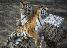 a-nap-fotoja-tigris