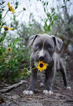 Pitbull puppies and sunflowers, pure sunshine! Cute Baby Animals, Animals And Pets, Funny Animals, Wild Animals, Nature Animals, Cute Puppies, Cute Dogs, Dogs And Puppies, Doggies