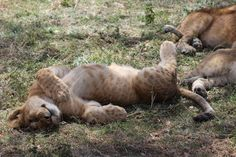 Little lions sleep at #serengeti.  #afrika #serengeti #serengetipark #holiday #safari #lion #lionesess #lionking #sleeping #relaxing #littlelion #littlelionkid #child #löwe #löwin #löwenkind #königderlöwen #nationalpark #traveler #travel #wild #wildlife #nature #wildlifephoto #instatravel #instaperfect  #goodshot by awesome_afrikan_wildlife @enthuseafrika