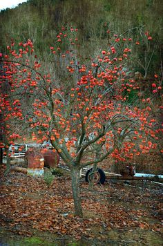 Persimmons grow on a big tree. | 28 Fruits And Vegetables That You Had No Idea Grew Like That