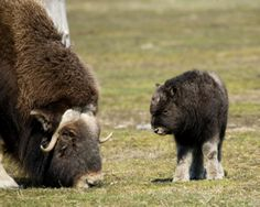 Musk Ox and Baby.. That baby is like the cutest thing ever!!!