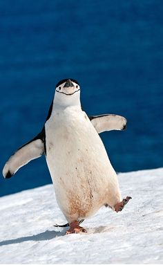 "A Chinstrap Penguin:  ""Oh Happy Days!""    (Photography By: Sergey Kokinskiy.)"
