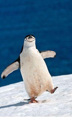 "A Chinstrap Penguin:  ""Oh Happy Days!""    (Photography By: Sergey Kokinskiy.)"