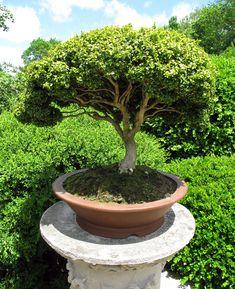 Annual Garden Festival & Bonsai Show Davie, FL Boxwood Bonsai, Bonsai Plants, Bonsai Garden, Bonsai Trees For Sale, Bonsai Tree Types, Plantas Bonsai, Landscape Design, Garden Design, Espalier