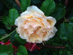 Vaaleankeltainen ruusu